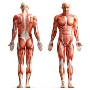 beneficii inot, sistemul muscular, muschii, musculos, inot
